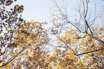金色的梧桐树