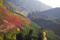 绿色花园樱花灿烂