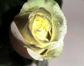 盛开的白玫瑰花特写