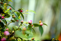 茶树枝头挂满花蕾