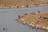 河岸休息的大雁群