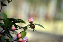 花蕾将盛开