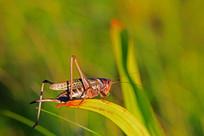昆虫蝈蝈 图片