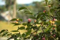 山茶花挂枝头