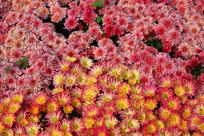小菊花背景图片