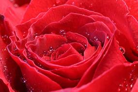 高清玫瑰花花纹