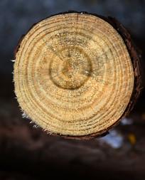 树干树轮图片
