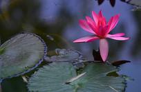 红色睡莲莲叶风景图片