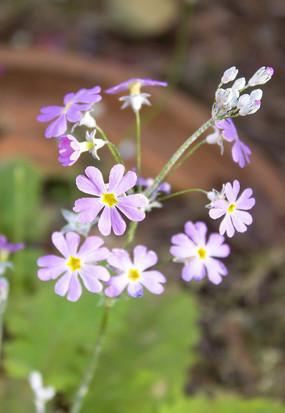 淡紫色的萝卜花
