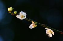黑色背景拍摄一枝梅花