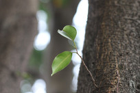 树干上的两片树叶
