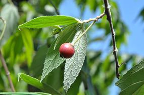 文丁果成熟的红色浆果在蓝天下