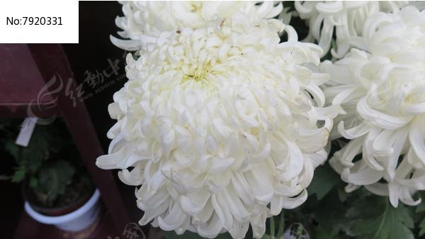 大朵白色菊花图片