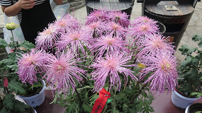 细长浅紫菊花
