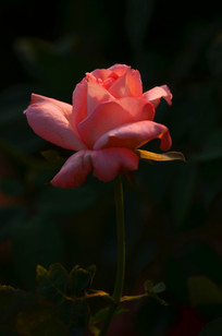 一朵唯美的玫瑰花