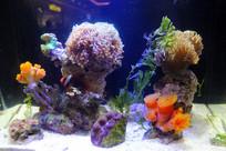 鱼缸内的珊瑚