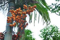 棕榈科槟榔的果实