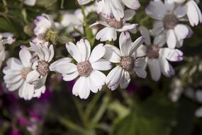 白色的瓜叶菊