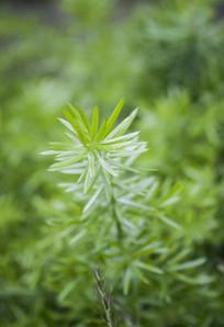 翠绿的嫩芽