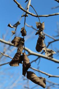 核桃树倒挂着的干核桃树叶