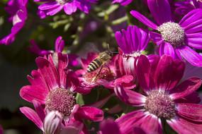 红色的瓜叶菊与蜜蜂
