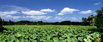 蓝天池塘荷花农家乐风景