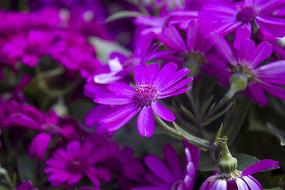 深紫色的瓜叶菊