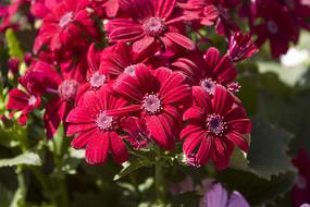 鲜红色的瓜叶菊