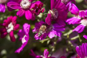紫色的瓜叶菊