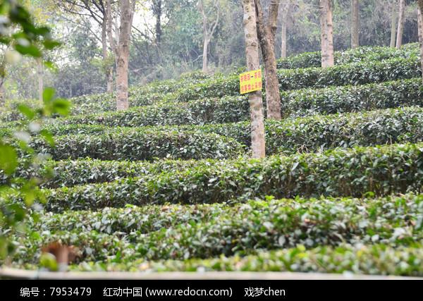 茶园风景图片图片