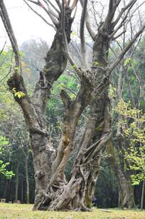 古树树干风景图片