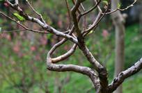 一棵桃树树干
