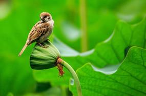 莲藕上的麻雀