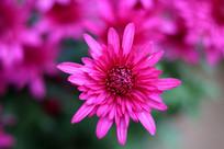 玫红色的菊花图片