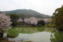 鼋头渚水边樱花