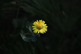 一朵黄色的菊花
