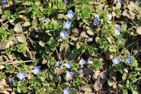 路边蓝色的野花