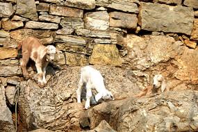 三只小羊羔图片