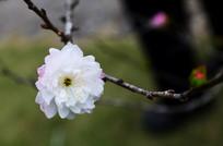 灿烂的桃花