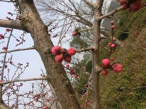 春天红色梅花花骨朵摄影图