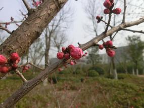 红色梅花花骨朵摄影图