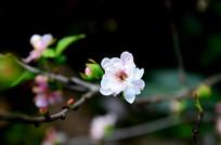 一朵白色的桃花