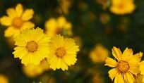 朵朵黄心菊