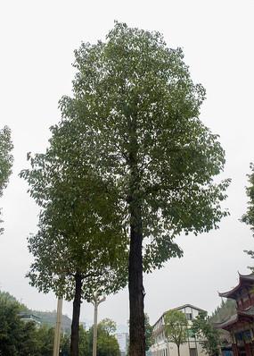高大的香樟树