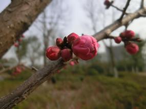 红色梅花花骨朵