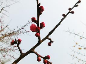 红色梅花花骨朵花枝