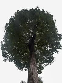 仰视香樟树