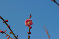 一朵鲜艳的梅花