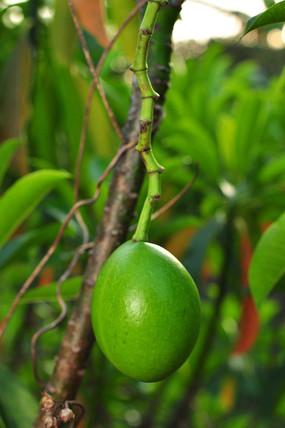 有毒植物海芒果的果实