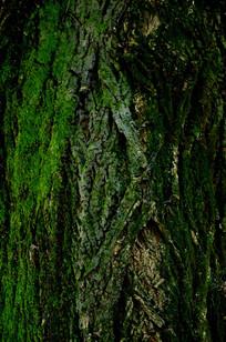 苍翠的树干